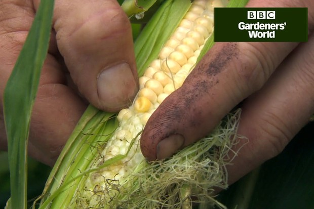 How to tell when sweetcorn is ripe