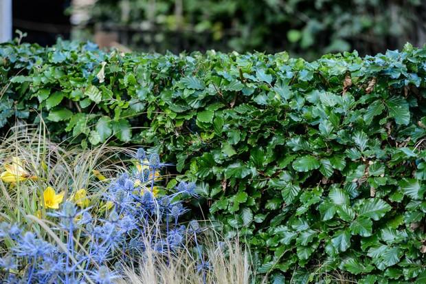 beech-hedge-2