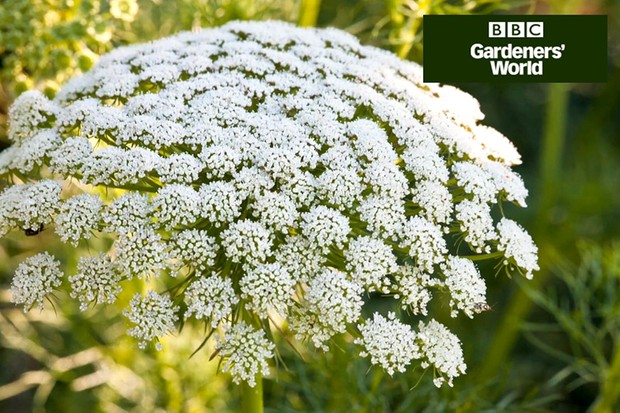 How to grow white umbellifers
