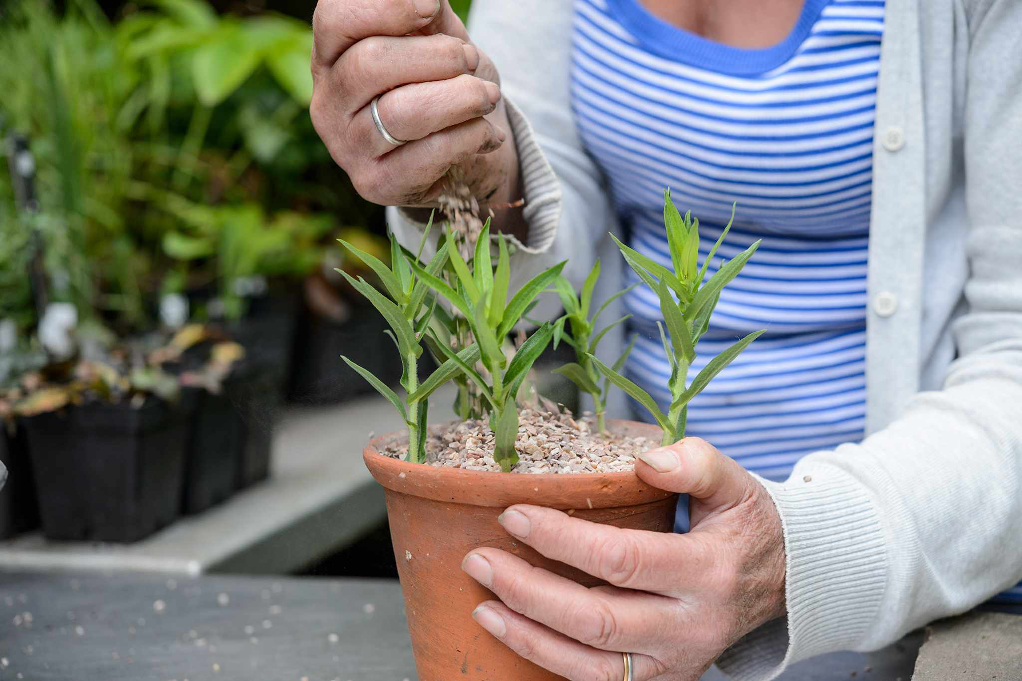 How to Take Aster Cuttings