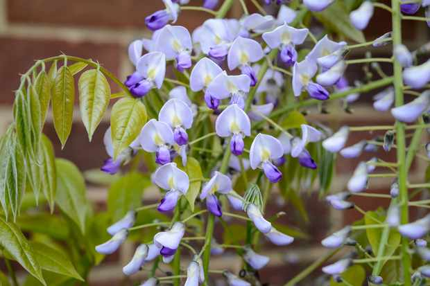 night-scented-plants-wisteria-floribunda-2