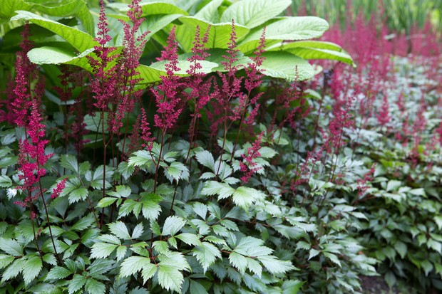 astilbe-chinensis