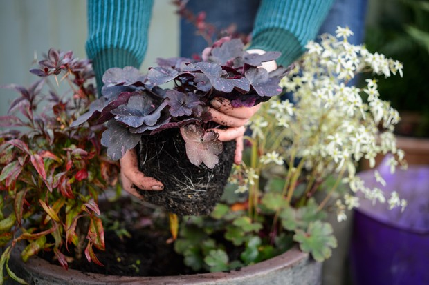 heuchera-midnight-rose-2