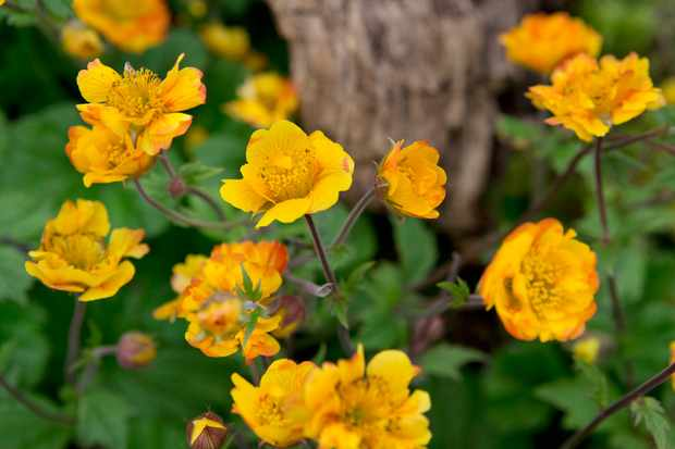 Bright orange geum flowers