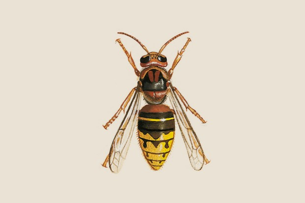 Illustration of the brown, orange and yellow European hornet