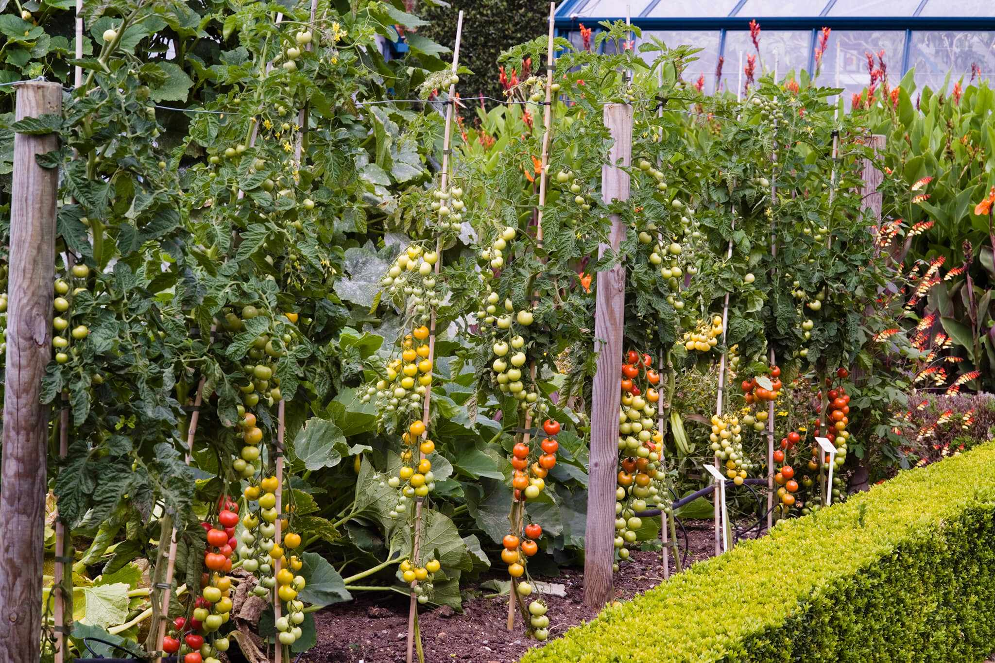 Cordon tomatoes