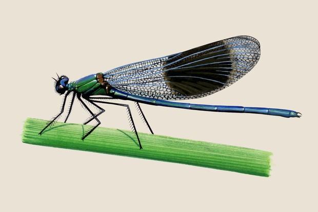 banded-demoiselle-calopteryx-splendens-2