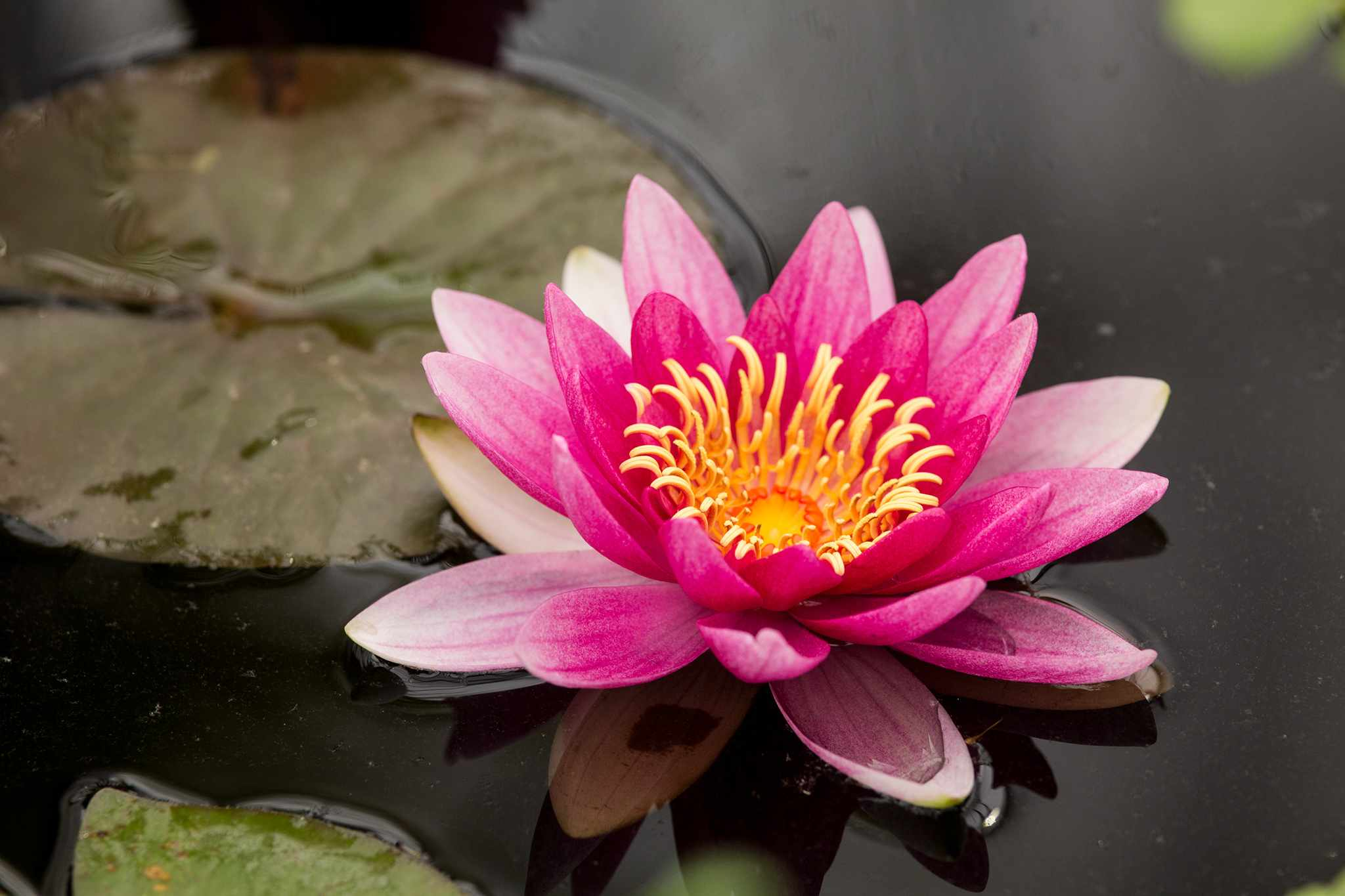 A pink flower of waterlily Nymphaea 'Attraction'
