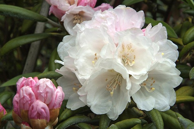 Why won't my rhododendrons flower?