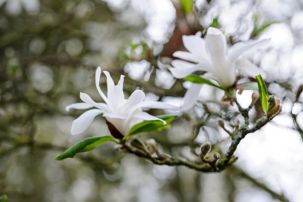 magnolia-stellata-4
