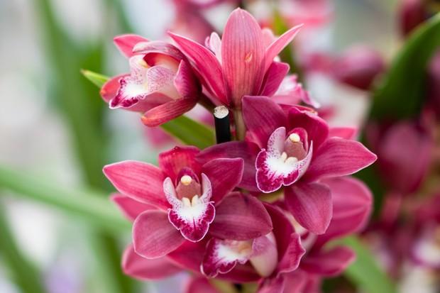 cymbidium-orchid-5