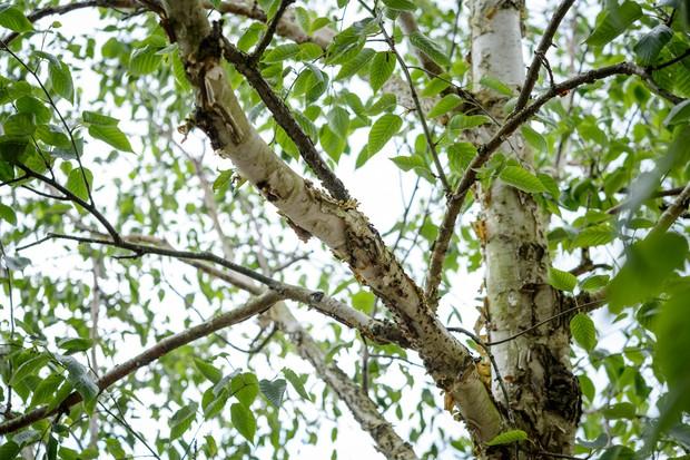 Birch tree stems and foliage