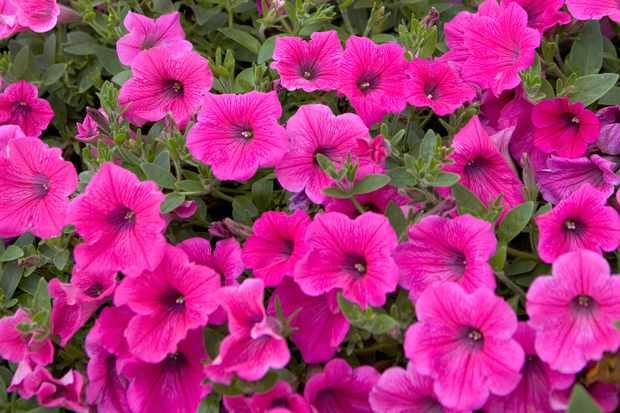 petunia-rose-vein-velvet-2