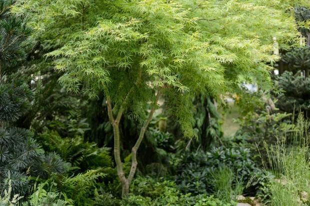 acer-palmatum-seiryu-2