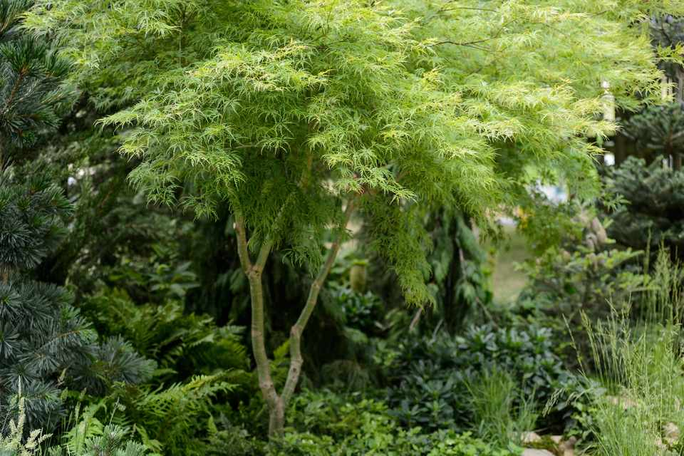 Pale-green, fine-leaved Acer palmatum 'Seiryu' in a border