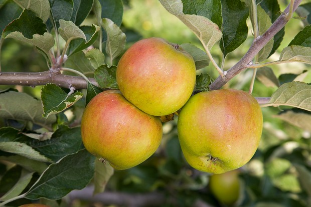 'Ribston Pippin' apples ready to pick