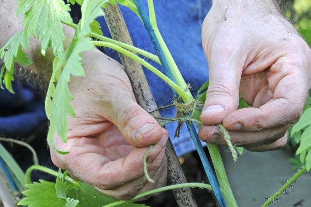 Tying tomatoes to bamboo canes