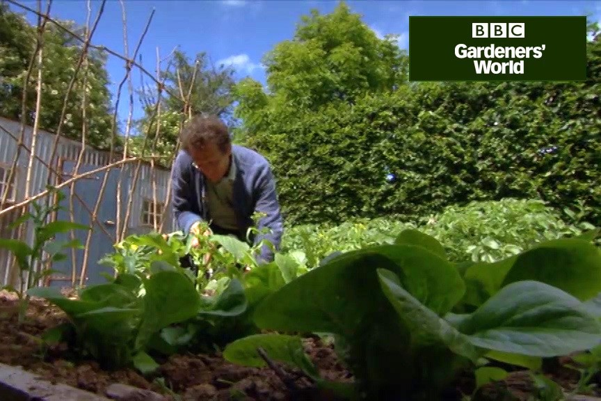 How to plant out brassicas video