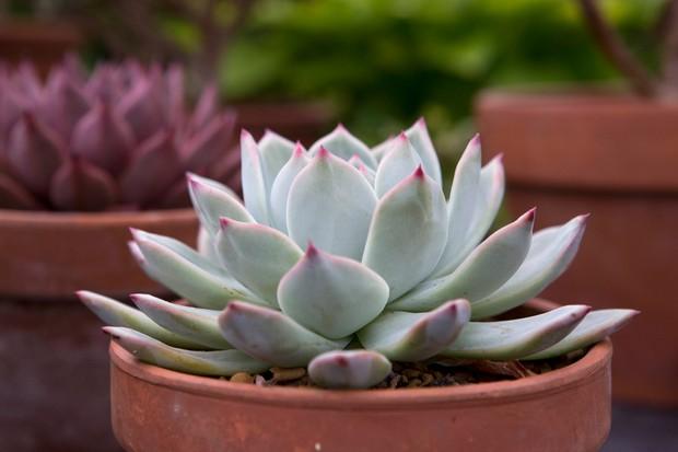 echeveria-colorata-f-lindsayana-2