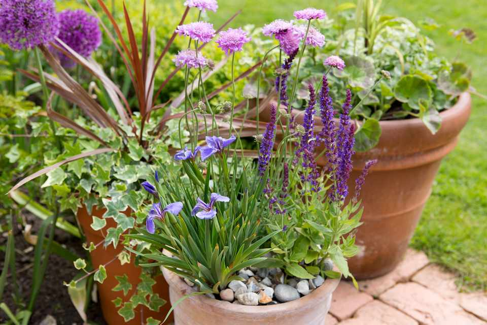 Pink scabious, purple salvias and blue iris in a terracotta pot topped with pebble mulch