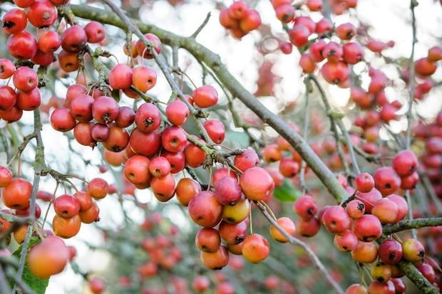 malus-x-robusta-red-sentinel-2