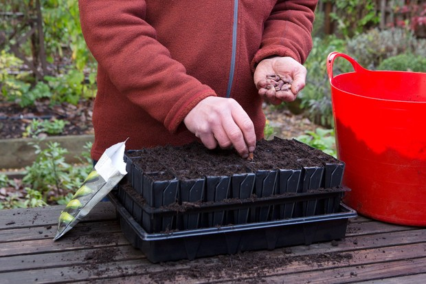 sowing-broad-beans-in-september-2