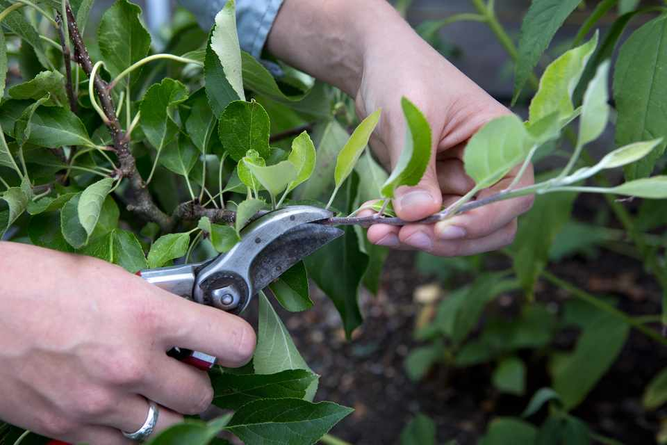 How to prune apple trees and pear trees in summer