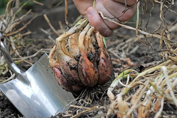 harvesting-shallots-2