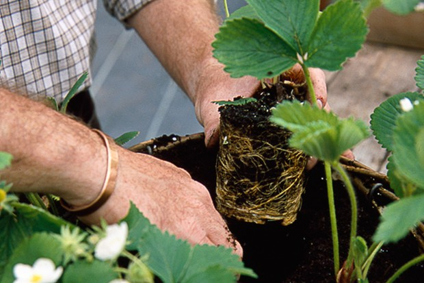 planting-strawberry-plants-2