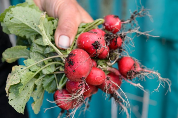 harvested-radishes-4