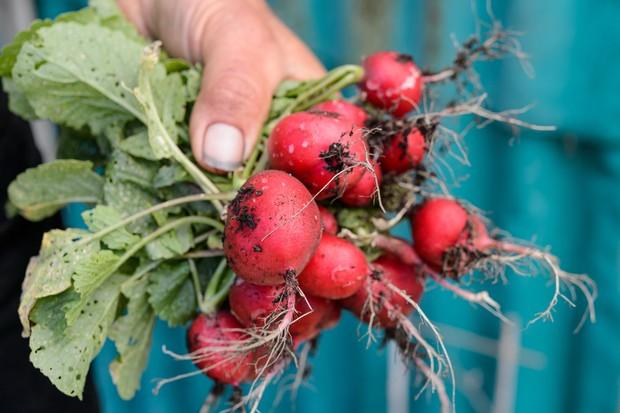 harvested-radishes-4