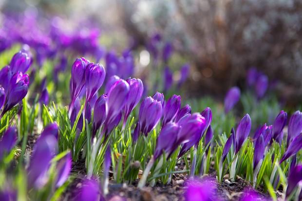 Naturalised planting of Crocus tommasinianus 'Whitewell Purple'