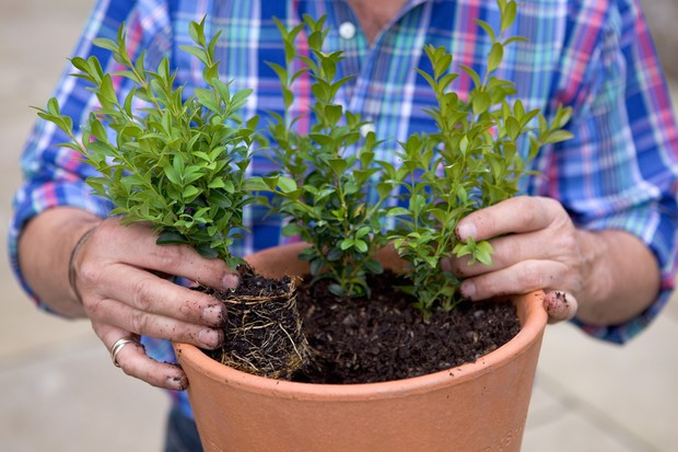 Planting the box cuttings together in a pot
