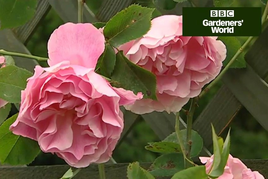 How to plant roses video