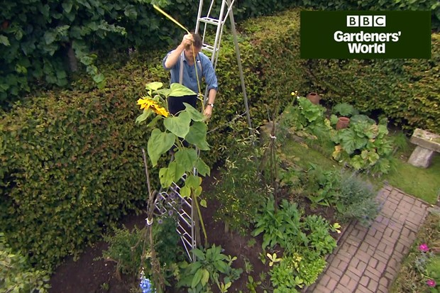Monty Don's giant sunflower trial (part four)