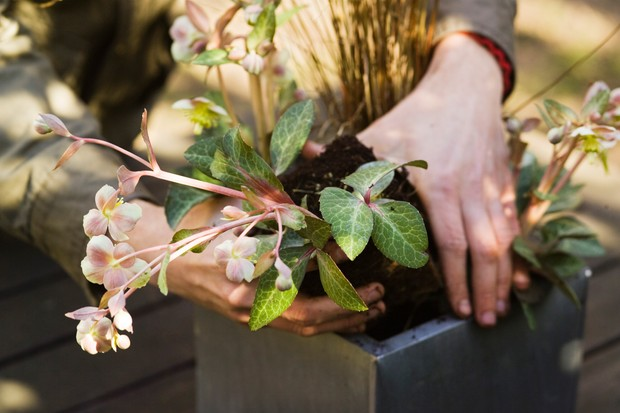 Planting the hellebores