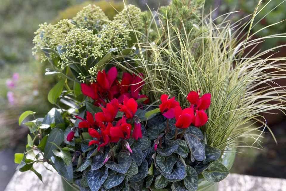 Cyclamen, carex, ivy and skimmia pot display
