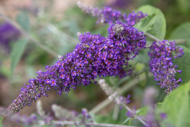 Deep mauve flowers of <em>Buddleja davidii</em> 'Persephone' with orange-red eyes