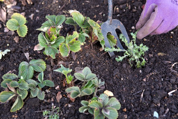 weeding-strawberry-bed-2