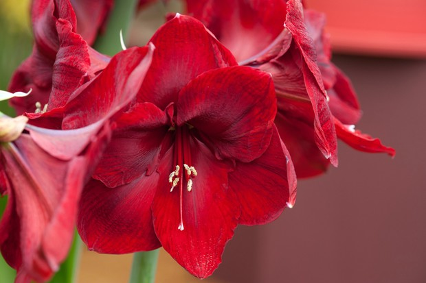 amaryllis-royal-velvet-2