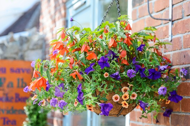 hanging-basket-planted-with-begonias-and-petunuias-2