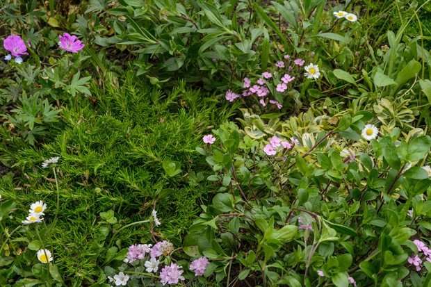 alternative-lawn-mix-for-sunny-area-with-geranium-and-phlox