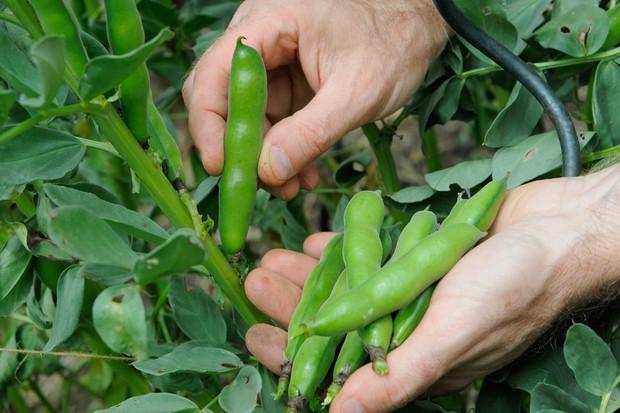 harvesting-broad-beans-4