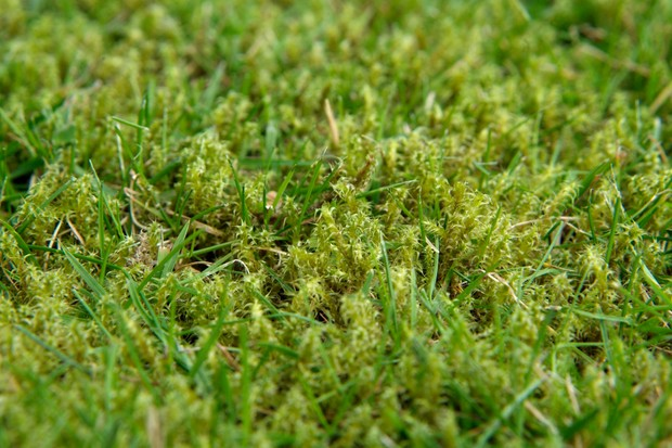 moss-growing-in-a-lawn-3