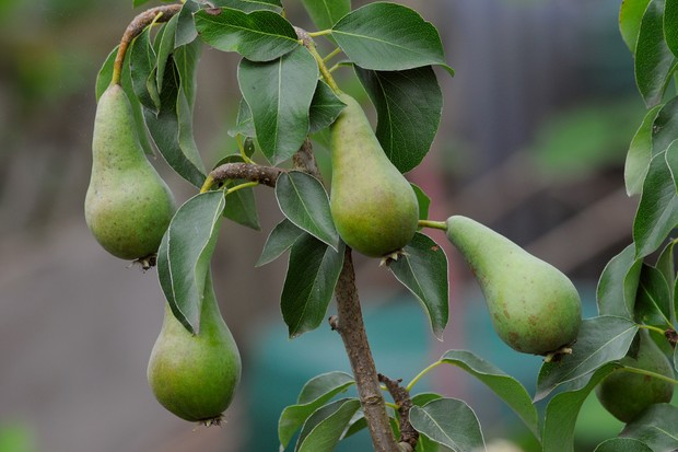 how to grow apple tree rootstock