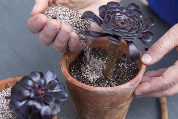 How to take aeonium cuttings - mulching around the cutting with perlite