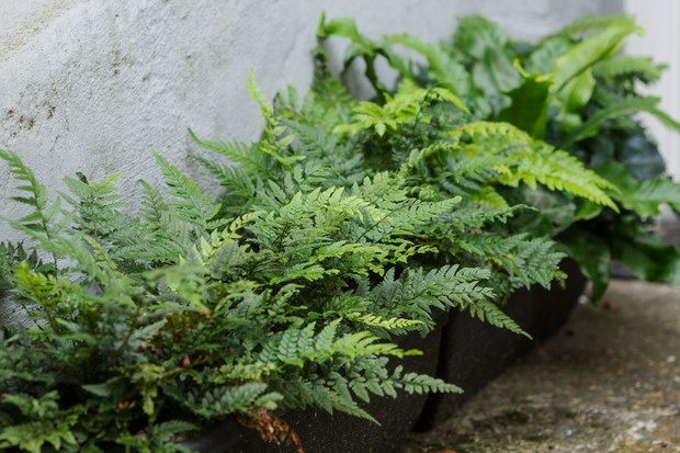container-grown-ferns-growing-in-a-shady-spot-2