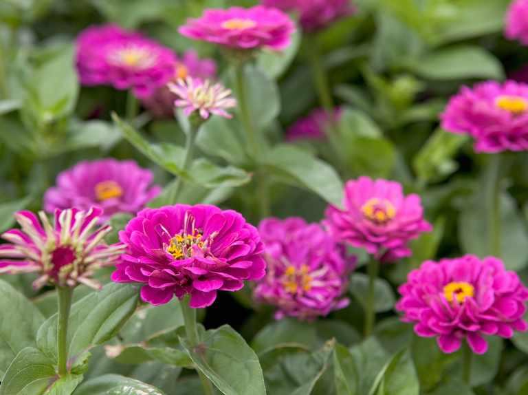 10 Colourful Zinnias To Grow Bbc Gardeners World Magazine