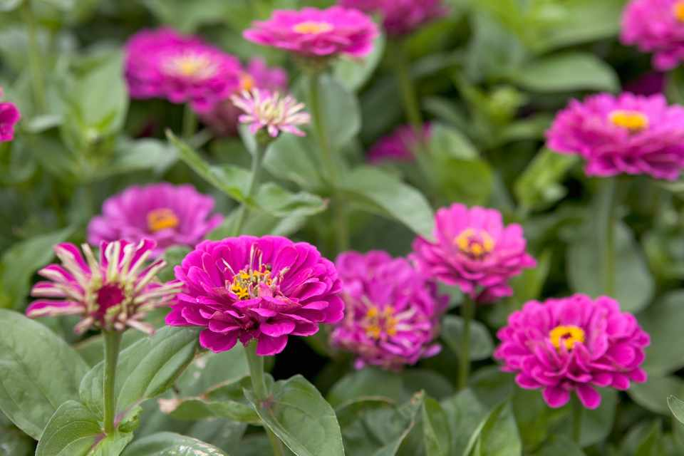 Purple-pink flowers of zinnia 'Purple Prince'