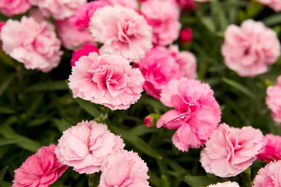Pink dianthus blooms